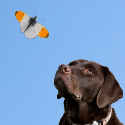 Dog Watching Butterfly